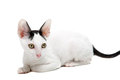 Cornish Rex Royalty Free Stock Photography