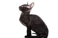 Cornish Rex Royalty Free Stock Photos