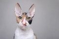 Cornish Rex cat Royalty Free Stock Photo