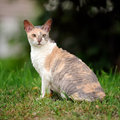 Cornish rex cat with curly hair outdoors a cute adult on green grass Royalty Free Stock Image