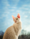 Cornish rex cat looking left young Royalty Free Stock Images