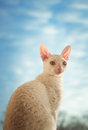 Cornish rex cat looking right young Royalty Free Stock Photos