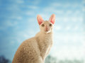 Cornish rex cat looking straight young Royalty Free Stock Photography