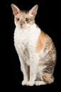 Cornish Rex Cat Sitting Against Black Background Royalty Free Stock Images