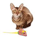 Cornish rex cat with toy mouse Royalty Free Stock Photos