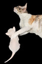 Cornish Rex Mother Cat Hugging Its Kitten Stock Photo