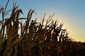 Cornstalks with sunset glow autumn corn stalks Stock Photo