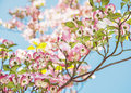 Cornus florida - Flowering dogwood, beautiful flowering tree Royalty Free Stock Photo