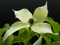 Cornus kousa Royalty Free Stock Photo
