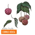 Cornus Kousa. Color vector illustration. Royalty Free Stock Photo