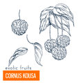 Cornus Kousa. Hand drawn vector illustration Royalty Free Stock Photo