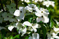 Cornus kousa with white flowers Royalty Free Stock Photo