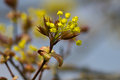 Cornus mas beautiful spring flowers cornelian cherry european cornel or dogwood Stock Photo