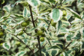 Cornus mas plant Royalty Free Stock Photo