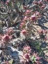 Corona cacti Royalty Free Stock Photo