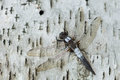 Corporal dragonfly ladona julia chalk fronted resting on a paper birch bark Stock Images