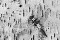 Corporal dragonfly ladona julia chalk fronted resting on a paper birch bark Stock Photos