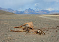 The corpse of a horse in the steppes of mongolia Stock Image