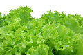 Corrugated lettuce leaves isolated Royalty Free Stock Image