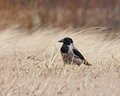 Corvus cornix, Hooded Crow Royalty Free Stock Image