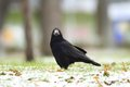 Corvus frugilegus in the park black european crow on a winter day Royalty Free Stock Photography