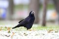 Corvus frugilegus on the snowy park black european crow Royalty Free Stock Image