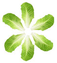 Cos Lettuce Leaves Stock Images