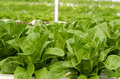 Cos lettuce romaine lettuce plantation is beneficial to the body Stock Photography