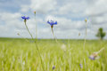 Cose up of blue cornflowers Royalty Free Stock Photo