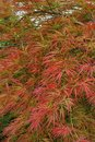 Cose-up of the branches of decorative red maple Acer japonicum i Royalty Free Stock Photo