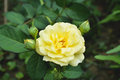 Cose up yellow rose Royalty Free Stock Photo