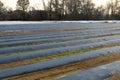 Cosechas en un campo cubierto para la protección contra helada Fotografía de archivo