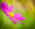 Cosmea closeup Stock Photography