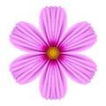 Cosmea cor de rosa rose flower kaleidoscope isolated no branco Imagens de Stock