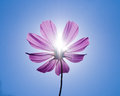 Cosmo under sunshine and blue sky Royalty Free Stock Photo