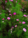 Cosmos are annual flowering plants in the sunflower family the flowerheads are bowl or cup shaped and flower colors are variable Stock Photos