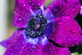 Cosmos bipinnatus Royalty Free Stock Photo