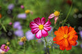 Cosmos bipinnatus Flower Royalty Free Stock Photo