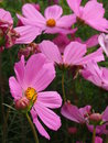 Cosmos bipinnatus Royalty Free Stock Photo