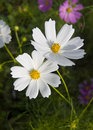 Cosmos blanc Photo stock