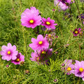 Cosmos - Cosmos bipinnatus Stock Photo