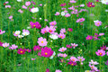 Cosmos Field Royalty Free Stock Photo