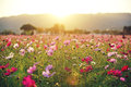 Cosmos field at sunset in autumn illuminated light of sun sensitivity of the setting sun Royalty Free Stock Images