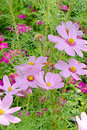 Cosmos fields purple flowers field sulphureus Royalty Free Stock Images