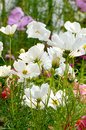 Cosmos fields white flowers field sulphureus Stock Images