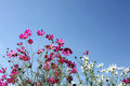 Cosmos flower against blue sky beautiful red and white at garden Royalty Free Stock Photos