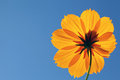 Cosmos flower against blue sky close up of clear Stock Photography