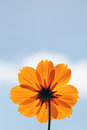 Cosmos flower against blue sky a and clouds Royalty Free Stock Photos