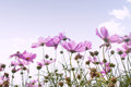 Cosmos flower background beautiful and sky Royalty Free Stock Photos