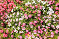 Cosmos flower bed Royalty Free Stock Images